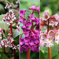 Buy elephant's ears Bergenia collection - buy 2 collections for and get another collection FREE: 1 collection: Delivery by Crocus Buy Plants, Garden Plants, House Plants, Magenta Flowers, White Flowers, Plants For Shady Areas, Elephant Ears, Herbaceous Perennials, Garden Care