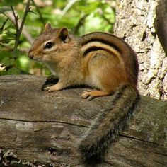 chipmunk | The Ojibwe People's Dictionary