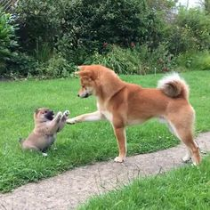 Tagged with , Aww; Shiba trying to calm down their pup Akita Dog, Cute Puppies, Cute Dogs, Dogs And Puppies, Doggies, Chien Akita Inu, Sweet Dogs, Japanese Dogs, Puppy Play