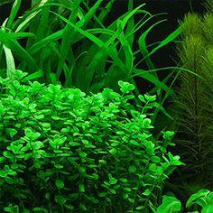 bacopa monnieri live aquarium plant