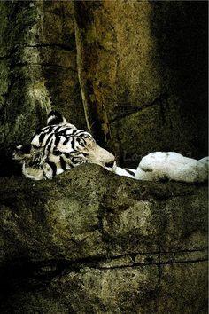 amazing photo! I love white tigers!