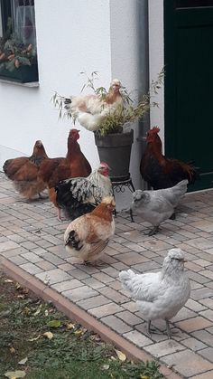 Urban Chickens, Chickens And Roosters, Pet Chickens, Raising Chickens, Chickens Backyard, Beautiful Chickens, Beautiful Birds, Animals Beautiful, Farm Animals