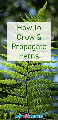 Indoors: A Quick Guide to Adding Greenery to Your Home Learn how to grow, care for and propagate ferns with our guide!Learn how to grow, care for and propagate ferns with our guide! Indoor Ferns, Indoor Plants, Fern Care Indoor, Organic Gardening, Gardening Tips, Indoor Gardening, Gardening Books, Hydroponic Gardening, Adventure Time