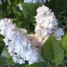 Semillas lila Syringa vulgaris belleza de moscú semillas semillas semillas de árboles de flores para Bonsai perenne jardín planta aromática semillas(China (Mainland))