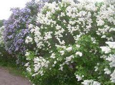 syreeni - Pihasyreeni viihtyy aurinkoisella tai puolivarjoisella kasvupaikalla, tuoreessa, ravinteikkaassa ja läpäisevässä puutarhamaassa. Syreeni on talvenkestävä ja terve pensas ja se tekee jonkin verran juurivesoja, joista sitä voidaan lisätä. Kasvia voidaan lisätä myös pistokkaista ja taivukkaista.