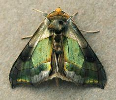 Moth, Burnished Brass, (Diachrysia chrysitis f. juncta).