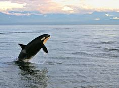 Orca by lami64, via Flickr