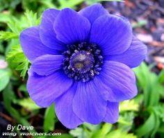 http://www.garden-flowers.org/wp-content/uploads/2012/04/Anemone-Flower1.jpg