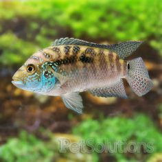 jack dempsey cichlid I'VE GOT 2 OF THESE