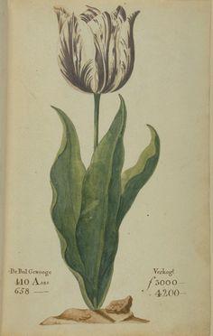 Tulp Viseorij. UIt Tulpenboek P. Cos (1637) @WUR-speciale collecties