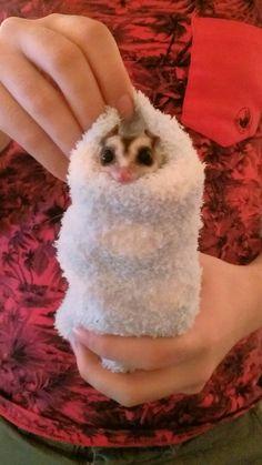 A sugar glider in a fluffy sock = snuggie burrito