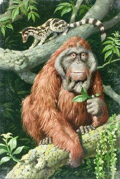 Orang-Utan and Banded Linsang - Asian Animals ..