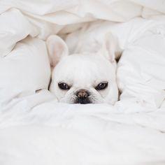 Theo, the French Bulldog, #theobonaparte on instagram #pipolli