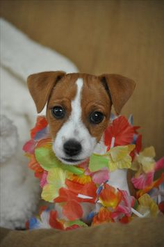 Zoe the jack Jack Russell Mix, Jack Russell Puppies, Really Cute Dogs, I Love Dogs, Dog Quotes Love, Parson Russell Terrier, Jack Russells, Super Cute Animals, Jack And Jack