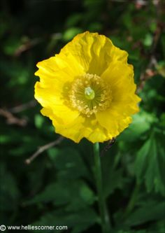 A Welsh Poppy, they Beautiful gorgeous pretty flowers