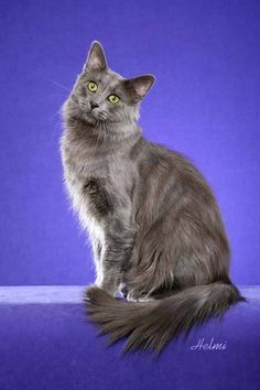Nebelung Cat, one of the rarest breeds of domestic cats.
