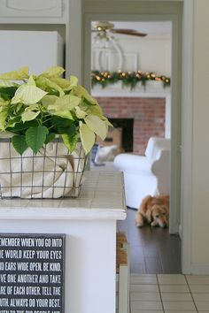 a lovely way to display poinsettias