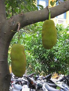Jackfruit grow to the size of watermelons! Kind of weird.looks like something out of a Sci-Fi movie. Weird Plants, Unusual Plants, Rare Plants, Fruit Trees, Trees To Plant, Jackfruit Plant, Bat Flower, Sensitive Plant, Planting For Kids