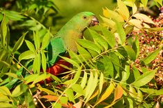 https://flic.kr/p/Do7sZf | Female King Parrot | She is having herself a fine feed, as King Parrots usually do.