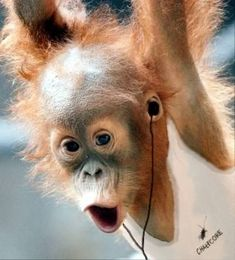 orangutan rocking out Mehr Monkey Pictures, Cute Animal Pictures, Cute Baby Animals, Funny Animals, Monkey See Monkey Do, Baby Orangutan, Pet Birds, Animals Beautiful, Wildlife