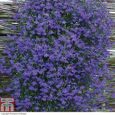 Lobelia 'Monsoon' - Annual Plants - Thompson & Morgan