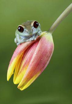Ranita que cuelga de una flor