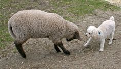 poodle sheep play bow