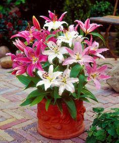 Lilien Pflanzen und Blumen - Kaufen Holz-Haus.de Garten-Online-Shop