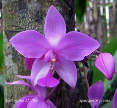 Orchid: Spathoglottis plicata - Flickr - Photo Sharing!