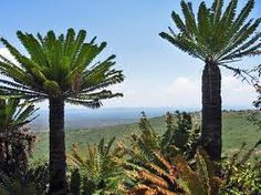 Cycads standing proud