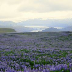 Lupine and glaciers. Iceland