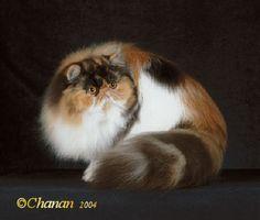 Calico Persian with an attitude.