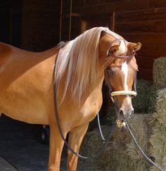 horse /   show girl glitz    his hair looks healthier than mine…    DUH-ROOOL. I'm not a huge Arab fun but dis guy!  Aaaahhhh, its a real life barbie horsie!!!eeeeek!!! :D