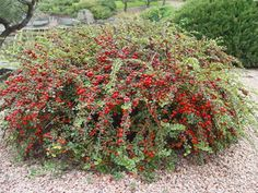This is a low-maintenance shrub that tolerates a wide range of soils, and its showy red berries will make it an eye-catching addition to any landscape.