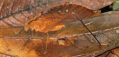Unbe-leaf-able: This Leaf Katydid looks like part of the forest floor in San Cipriano Reserve, Colombia