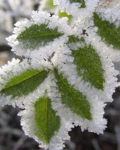 Green leaves edged with frost.