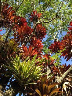 Bromeliads | 積水鳳梨