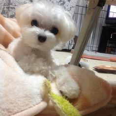 Maltese omg poppy we have to get this little one....
