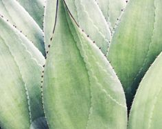 Items similar to Botanical Art Photography / agave leaves ...