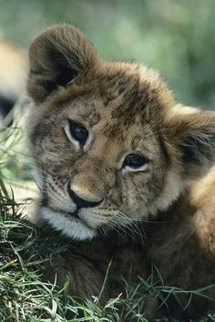 African Lion Cub by Tom Murphy