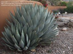 Full size picture of New Mexico Century Plant, Mescal