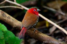 De rode druppelastrild (Hypargos niveoguttatus) is een vogeltje met een felle kleuren uit de familie van de prachtvinken (Estrildidae), van oorsprong afkomstig uit Oost-Afrika, van Kenia tot Zuid-Zimbabwe.