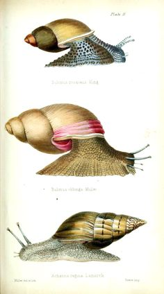 Initiamenta conchologica, or, Elements of conchology