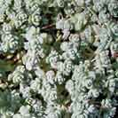 Gardening with Succulents - Love this soft grey Sedum dasyphyllum. This would be perfect with white flowers.
