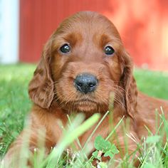 Irish Setter   My first pup!  Tippy what a great dog!