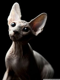 Gato Sphinx, Beautiful Cats, Animals Beautiful, Cute Hairless Cat, Baby Animals, Cute Animals, Baby Giraffes, Funny Cat Images, Cute Creatures