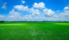 Rice fields in Purwodadi, Central Java Photo courtesy of Barry Kusuma
