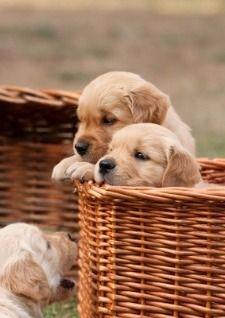 Golden Retriever puppies in basket
