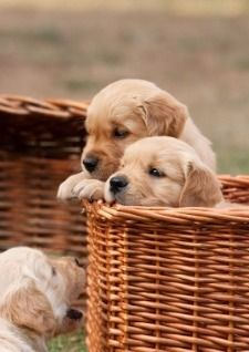 "~ I'LL HAVE THE ONE IN FRONT OF BASKET ~ Golden Retriever puppies peeking out of a basket From your friends at phoenix dog in home dog training""k9katelynn"" see more about Scottsdale dog training at k9katelynn.com! Pinterest with over 18,800 followers! Google plus with over 122,000 views! You tube with over 400 videos and 50,000 views!! Serving the valley for 11 plus years Twitter 2000 plus"