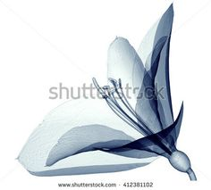 x-ray image of a flower isolated on white, 3d illustration the Amaryllis